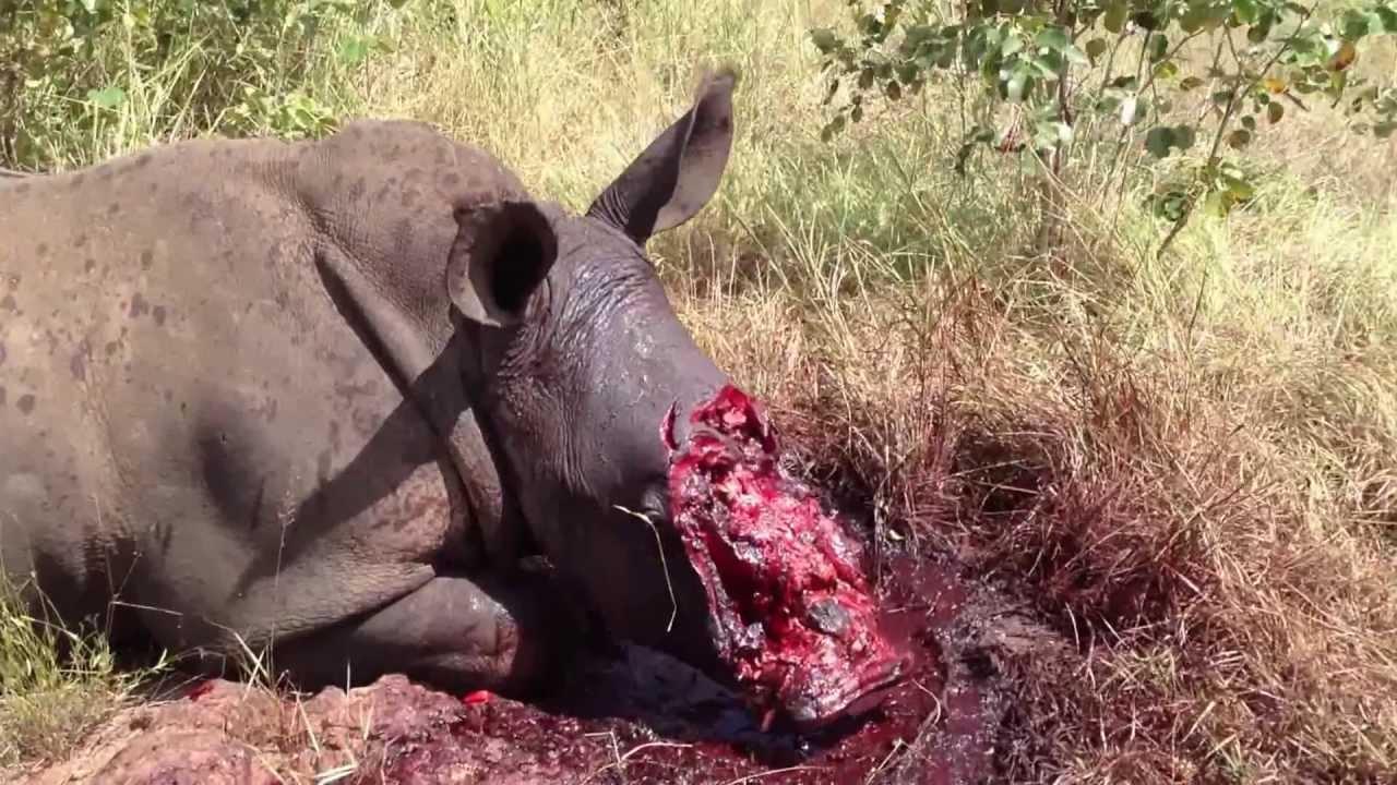 Rhino-Poaching